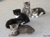 oasisanimalrescue_ginger-kittens2