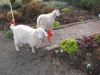 Angus\' new friends - goats