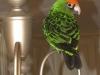 Angus\' new friends - a lovely love bird