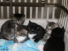 oasisanimalrescue_cat_gingersbabies