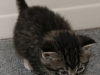 oasisanimalrescue_kitten_bridget-2