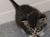 oasisanimalrescue_kitten_bridget