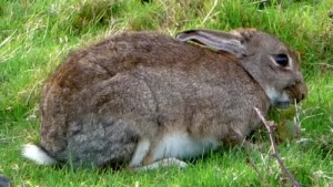 Wild rabbit at rest