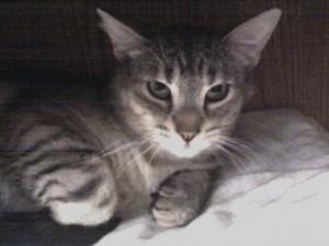 Grey and white cat gazes upwards