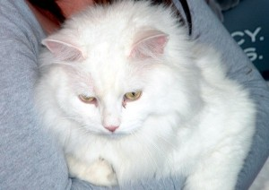 White cat being cradled
