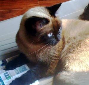 Siamese cat looking over her shoulder