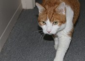 Adopt Creamsicle the cat
