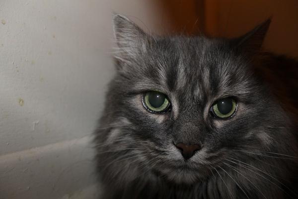 Adopt Lady Grey - Cat - Oshawa Durham Region