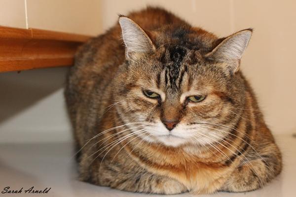 Adopt Mia - Cat for Adoption - Oshawa