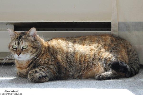 Adopt Mia - Cat - Oasis Animal Rescue