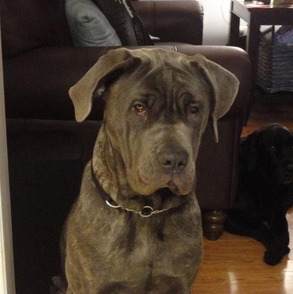 Adopt Griffen - Bull Mastiff Neopolitan Blue Cross
