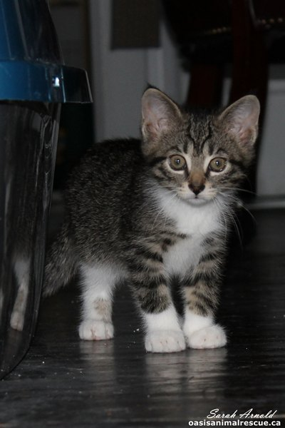 Adopt kitten Bridget - Oasis Animal Rescue