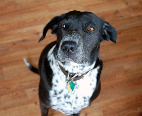Adopt Dog Jackson