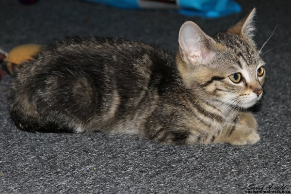 Kitten for adoption - Jessie - Oasis Animal Rescue