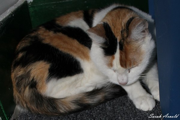 Adopt Trinity - Calico Cat. Oasis Animal Rescue