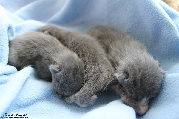 More Kittens For Adoption At Oasis Animal Rescue, Durham Region