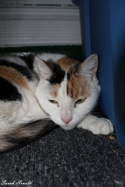 Trinity - Oasis Animal Rescue Cat