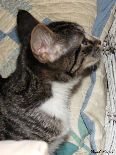 Adopt Blaze and Glory. Rescue Kittens, Durham Region