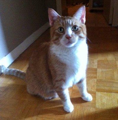 Orange and white cat named Kitten. For adoption.