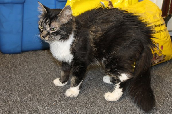 Adopt Cat Shiloh, Contact Oasis Animal Rescue, Durham Region