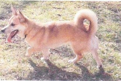 18 Month Old Rusty. A Corgi mix dog for adoption.