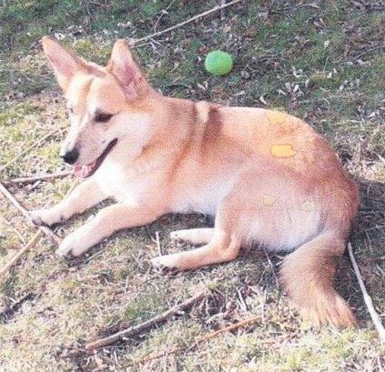 Corgi Mix dog for adoption