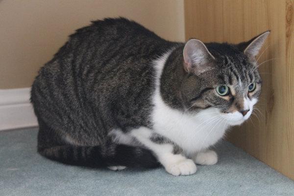 Adopt cat Max