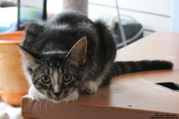 Adopt Kitten Blaze