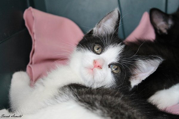 Adopt kitten Bubbles: Oasis Animal Rescue