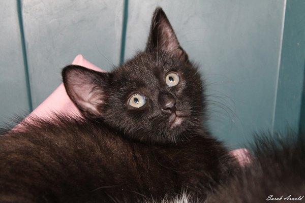 Adopt kitten Coal: Oasis Animal Rescue