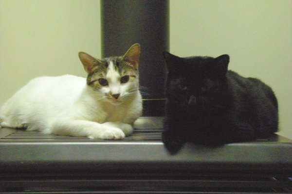Cats Doobie and Dexter for Adoption. Oasis Animal Rescue