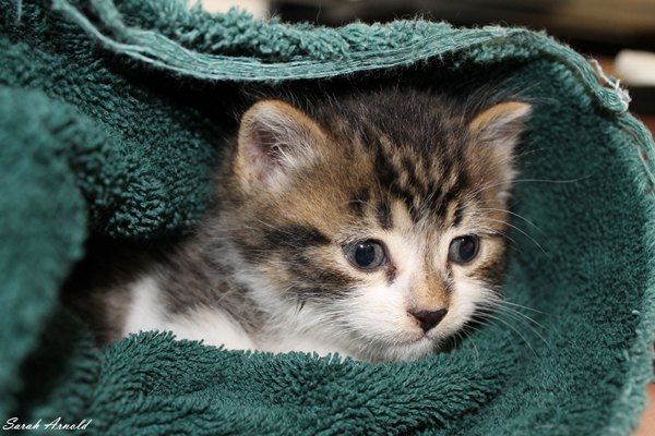 Kitten Little George for adoption - Oasis Animal Rescue