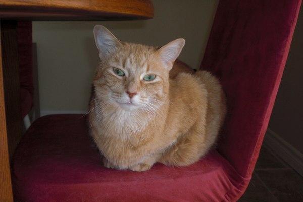 Adopt Cat Ginger. Oasis Animal Rescue, Oshawa.
