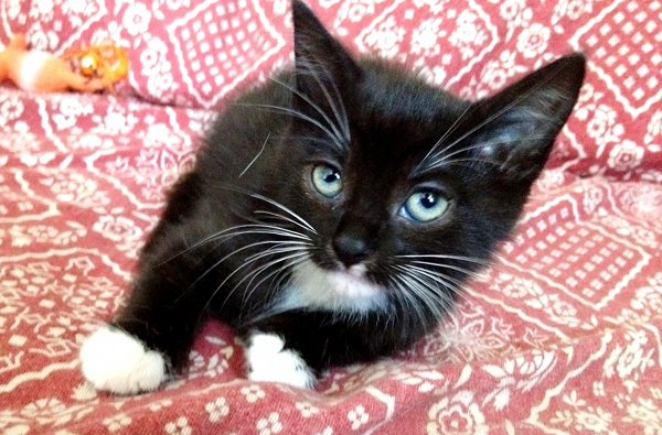 Adopt Kitten Molly - Oasis Animal Rescue