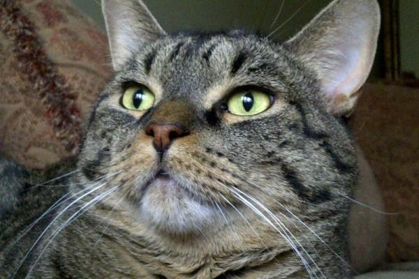 Adopt Cat Oscar. Pet adoption Durham Region