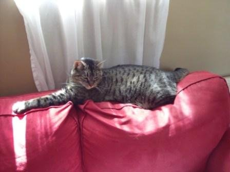 Adopt Cat Oscar. Contact Oasis Animal Rescue