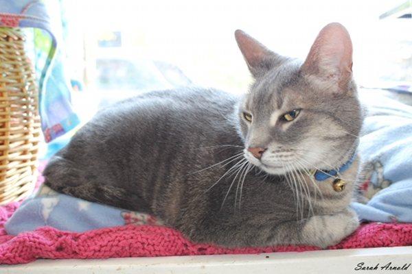 Adopt Cat Howie