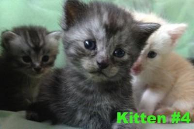 Kitten #4 - Layla at Oasis Animal Rescue