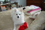 Adopt Dog Bear - American Eskimo Dog - Oasis Animal Rescue