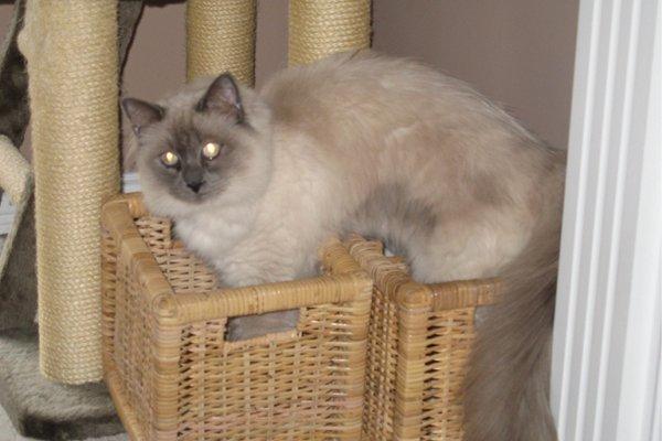 Adopt Ragdoll Cat Angus