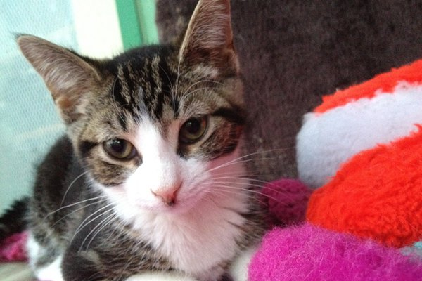 Adopt Rescue Kitten Named Baby