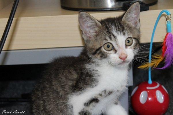 Adopt kitten Brody