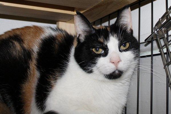 Adopt Cat Callie