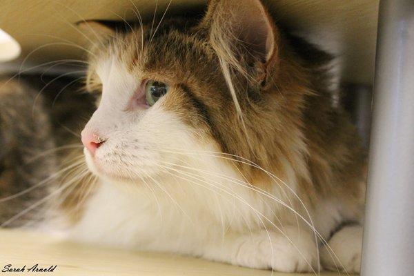 Adopt Cat Ella