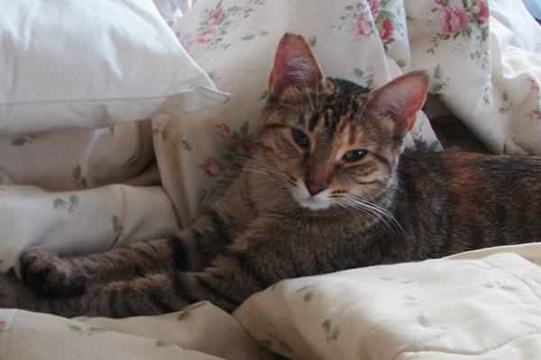 Adopt Cat Gina