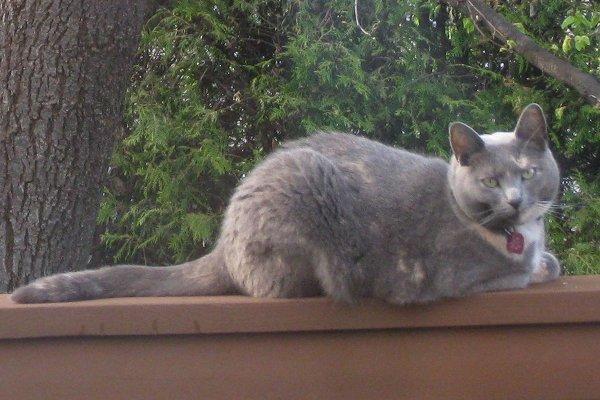Adopt Cat Graycie