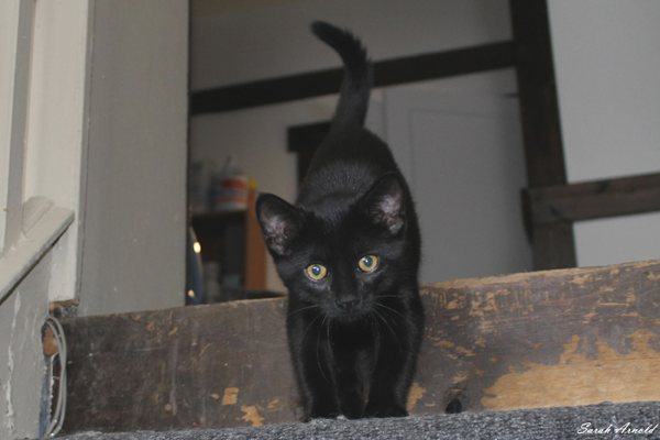 Adopt Coal Black Cat Named Luna