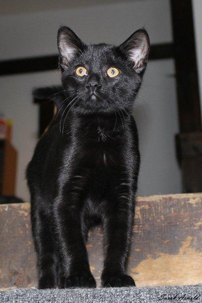 Adopt Cat Luna