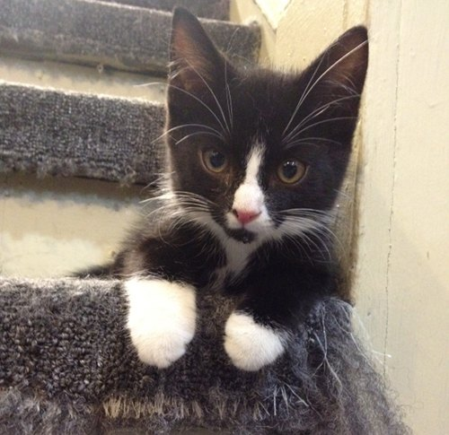 Adopt Kitten named Oreo