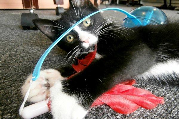 Adopt Oreo (Kitten)